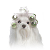 Maltese with curlers (green) thumbnail